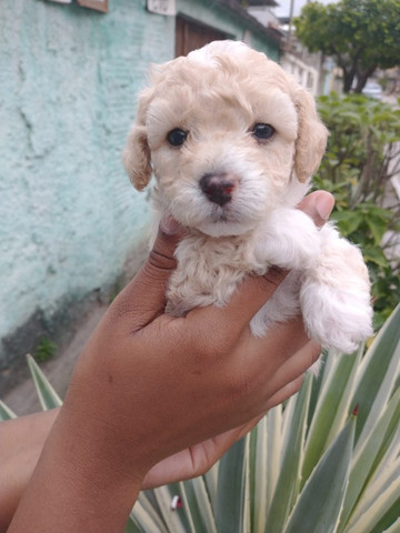 Poodle disponível - Macho e fêmea - Foto 2