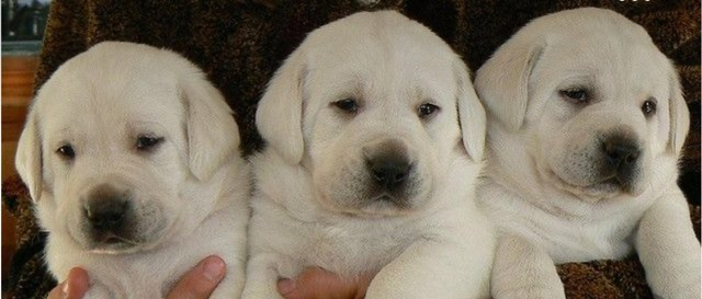 Labrador Macho Filhote! Com Pedigree e Garantia de Saúde  - Foto 2