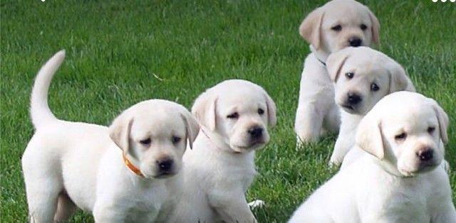 Labrador Macho Filhote! Com Pedigree e Garantia de Saúde  - Foto 4