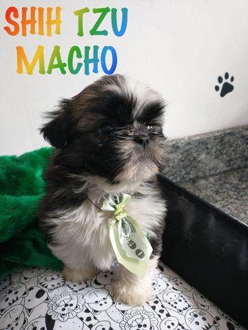 Shihtzu macho vermifugados com Drontal Puppy