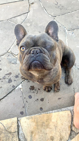 Bulldog blue  - Foto 2