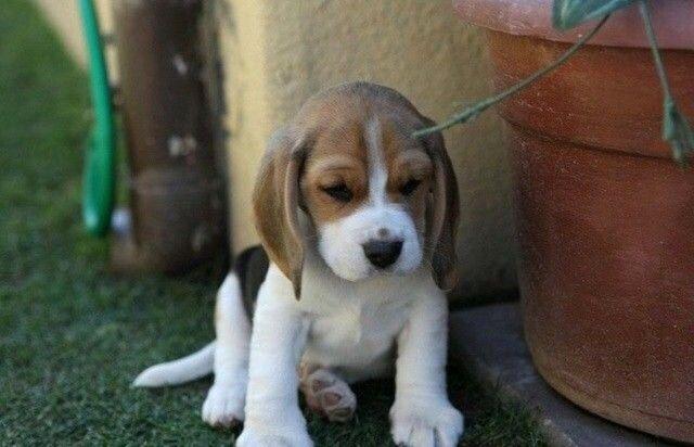 Beagle Filhote 13 Polegadas com Pedigree Microchip