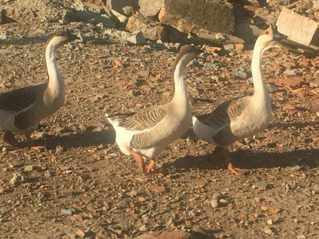 Filhotes de gansos sinaleitos africanos puros - Foto 3
