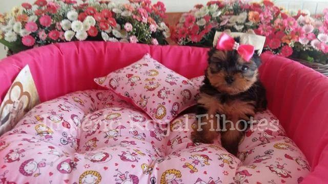 Yorkshire Baby Face Micro Fêmea * com Pedigree* Império Royal Filhotes