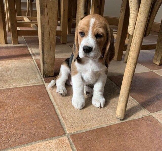 Beagle Filhote 13 Polegadas com Pedigree Microchip  - Foto 4