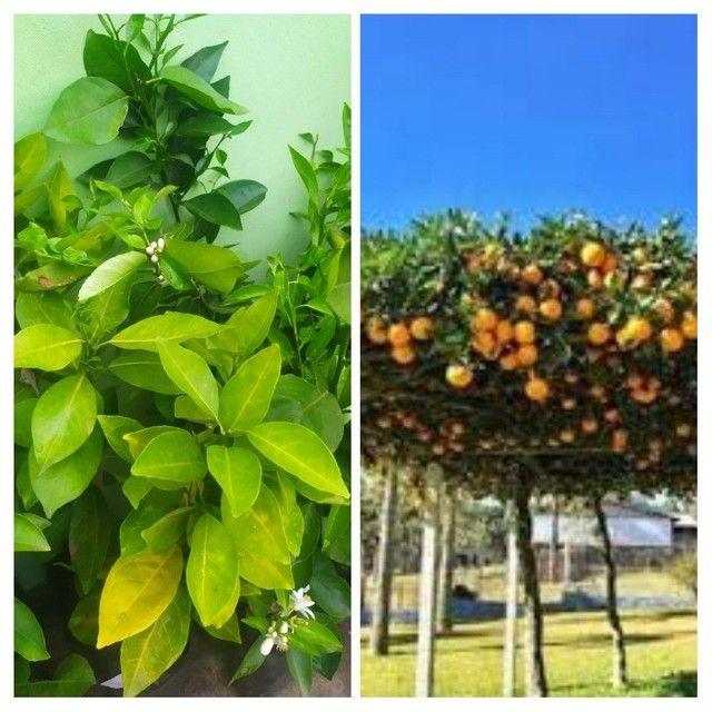 Frutíferas - Foto 2