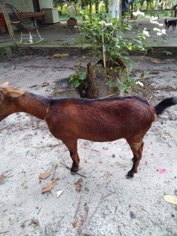Cabra R$450 - Foto 3