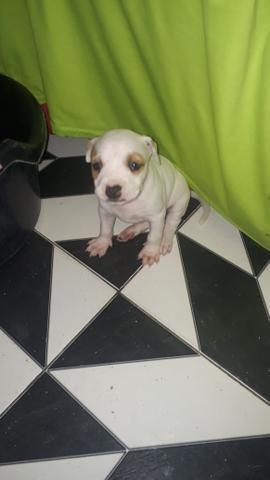 Cachorro pitbull - Foto 3