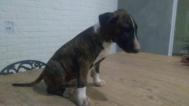 Filhote de Bull terrier - Foto 3
