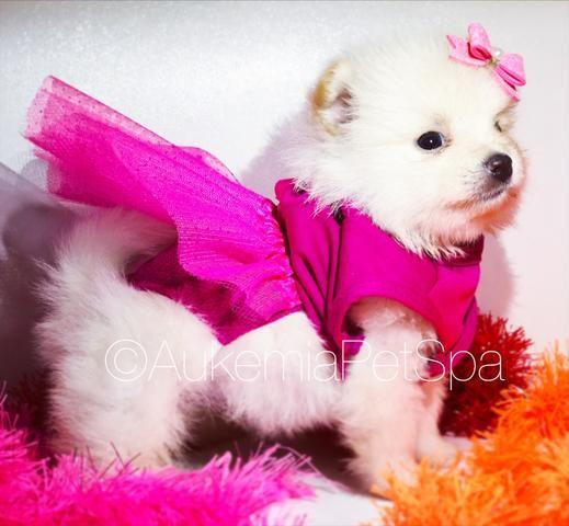 73df354ab42 Spitz fêmea clara visite a melhor loja da América latina - Cachorros ...