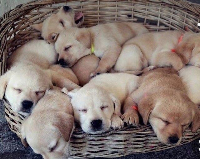 Labrador Macho Filhote! Com Pedigree e Garantia de Saúde  - Foto 5