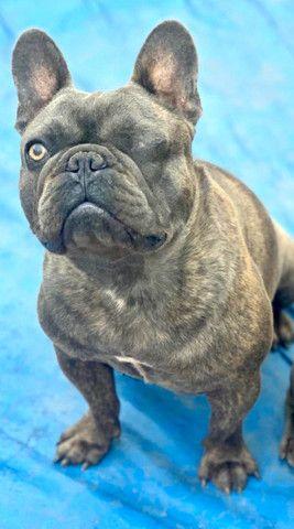 Bulldog blue