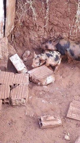Mini porco - Foto 3