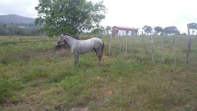 Égua quarto de milha linhagem de corrida - Foto 4