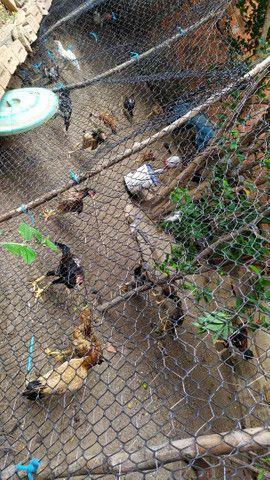Vendo galinhas caipira legítimas - Foto 4