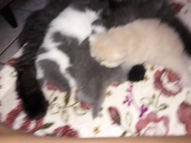 Gatos persas - Foto 4