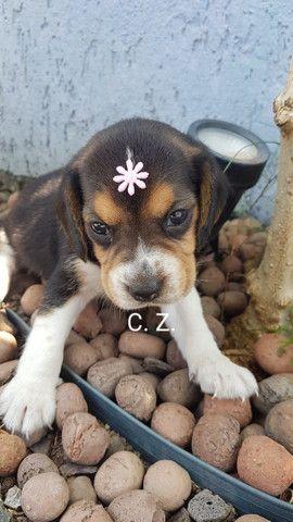 Beagle / Macho e fêmea. - Com pedigree e garantia de saúde - Foto 2