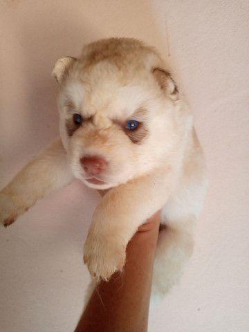 Husky Siberiano Filhotes, Canil Serafim, com pedigree - Foto 3