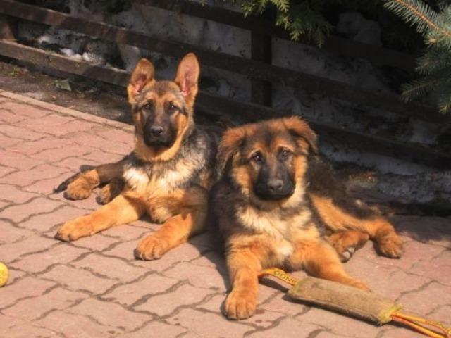 Sua segurança ao seu alcance lindos filhotes de pastor Alemão vacinados