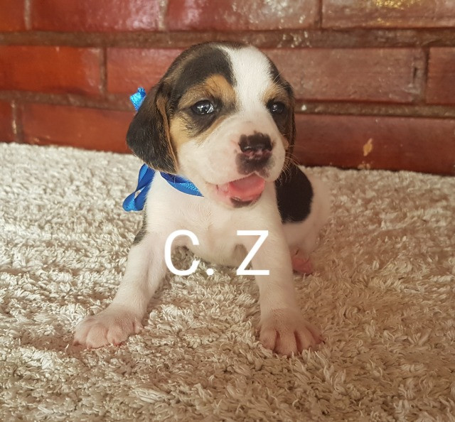 Beagle / Macho e fêmea. - Com pedigree e garantia de saúde - Foto 3