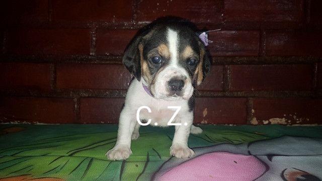 Beagle / Macho e fêmea. - Com pedigree e garantia de saúde - Foto 4