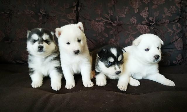 Vendo lindos filhotes de husky siberianos puros