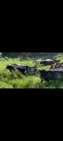 Vacas de leite  - Foto 3