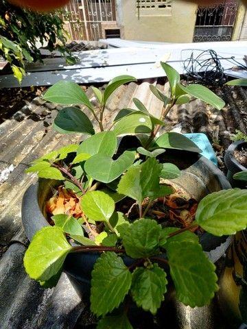 Mudas de plantas - Foto 2