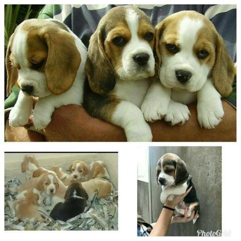 Beagle Filhotes 13 polegadas vacinados Pedigree cartão 5x