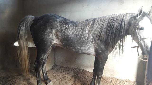 Cavalo magalarga picado - Foto 4