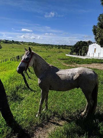 Vendo cavalo bom de sela - Foto 4