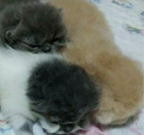 Gatos persas - Foto 6