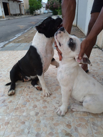 Vende se filhote American bullying ótima procedência cão diferenciado