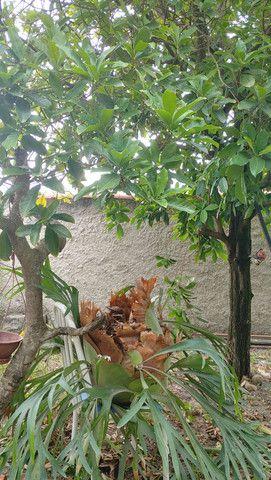 Samambaia Chifre de Veado