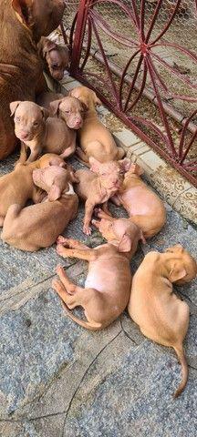 Filhotes de pitbull - Foto 3
