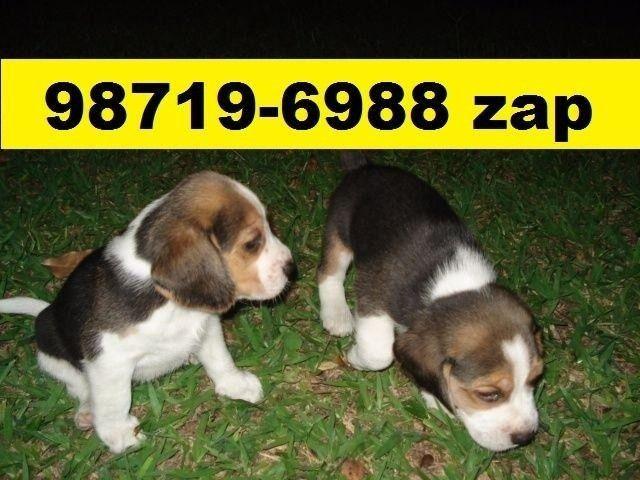 Canil Premium Filhotes Cães BH Beagle Basset Poodle Lhasa Maltês Shihtzu Yorkshire