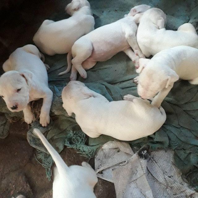 Filhotes de dogo argentino - Foto 4