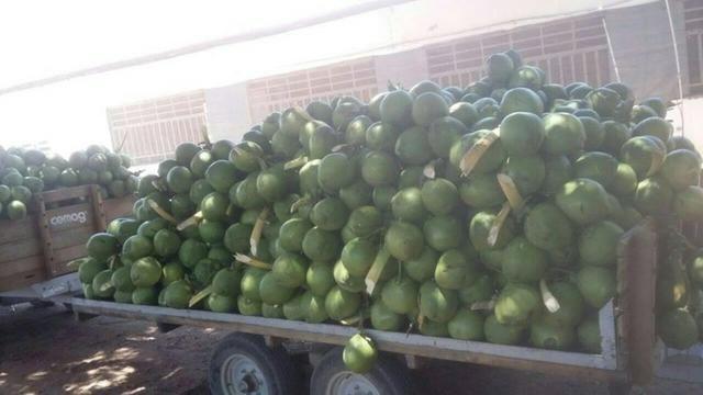 Coco verde - Foto 2