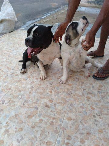 Vende se filhote American bullying ótima procedência cão diferenciado  - Foto 2
