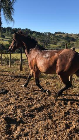 Cavalo mangalarga 4 anos - Foto 3