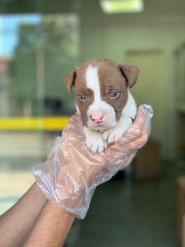 Pitbull red nose, black e blue, adquira da maior loja de filhotes do Brasil!!