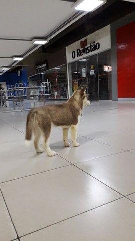 Husky siberiano puro com pedigree cbkc - Foto 2