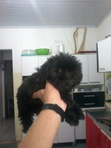 Poodle fêmea 2 meses
