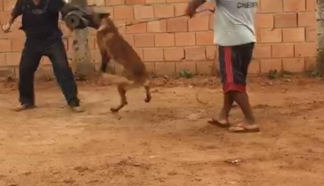 Adestramento e venda de cães de guarda prontos