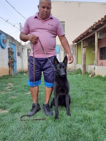 Adestramento e venda de cães de guarda prontos - Foto 2