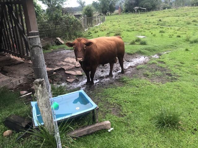 Troca de touro Red Angus - Foto 4