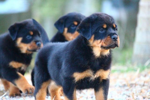 Rottweiler filhotes com pedigree - Foto 3