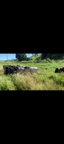 Vacas de leite  - Foto 2