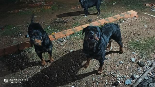 Rotweiler pedigree cbkc linhagem Sérvia - Foto 2