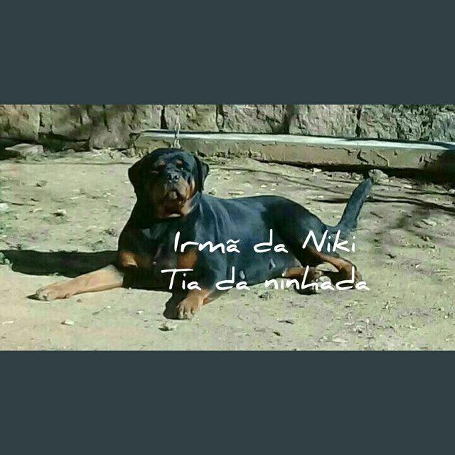 Rottweiler - Foto 6